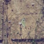 Rhodos Stadt - Akropolis - Schmetterling